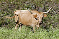A brown-color steer with long, handlebar-shaped horns stands among bushes and trees