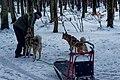 Texel - Dunningsweg - Preparation of Sled dogs III.jpg
