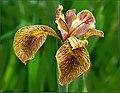 The Iris (29) (8096403903).jpg