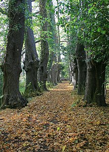 A straight leaf-covered path between two rows of old trees