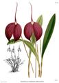 The Orchid Album-01-0074-0024-Masdevallia harryana coerulescens.png