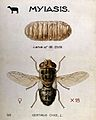 The larva and fly of the sheep-nostril-fly (Oestrus ovis). C Wellcome V0022564.jpg