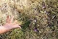 The thread leaves of brodiaea (35361671491).jpg