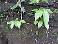 Thottea corybosa-1-chemmunji-kerala-India.jpg