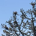 Three Great Blue Heron Nests in a tree within the San Francisco Area.jpg