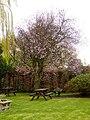 Three Horseshoes Purple Leaf Plum Tree (Prunus Cerasifera Nigra) in flower - geograph.org.uk - 1229930.jpg