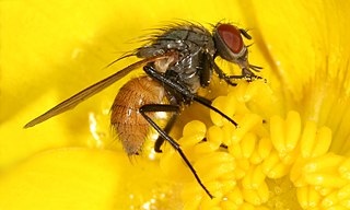 <i>Thricops semicinereus</i> Species of fly