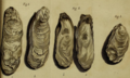 Thunberg1793 pl6 fig1-3 Magallana gigas.png