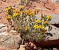 Thymophylla acerosa 6.jpg