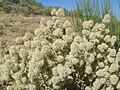 Thymus mastichina 4.JPG