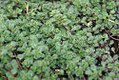 Thymus pseudolanuginosis 0zz.jpg