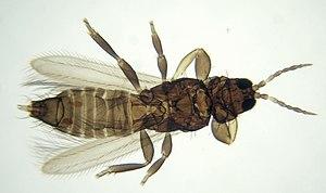 Thysanoptera1