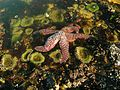 Tide pools - sea star (32501831940).jpg