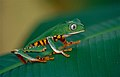 Tiger-striped Leaf Frog (Phyllomedusa tomopterna) (10377388545).jpg
