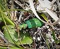 Tiger Beetle. Cicindela campestris (25242047088).jpg