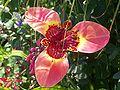 Tigridia flower 004.jpg
