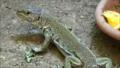 Timon lepidus - Parc zoologique de Paris - qui pose.png