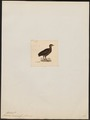 Tinamus cinereus - 1820-1860 - Print - Iconographia Zoologica - Special Collections University of Amsterdam - UBA01 IZ18900221.tif