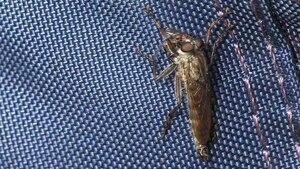 File:Tolmerus atricapillus (männlich), Wollenberg, Deutschland - 20100902.ogv