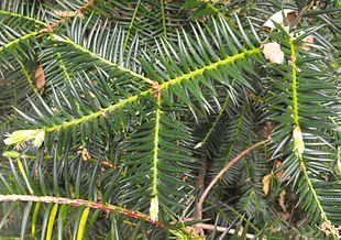 Californisk Nøddetaks (Torreya californica)