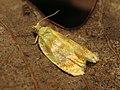 Tortricid Moth (32650679741).jpg