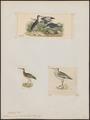 Totanus semipalmatus - 1700-1880 - Print - Iconographia Zoologica - Special Collections University of Amsterdam - UBA01 IZ17400135.tif
