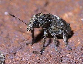 <i>Toxonotus</i> Genus of beetles