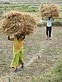 Transporting Hay Bales - Outside Lumbini - Terai - Nepal (13845409695).jpg