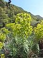Trauttmansdorff gardens - Euphorbia characias 03.jpg