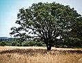 Tree, Hendy Woods State Park.jpg