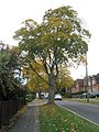 Trees in Cromwell Road - geograph.org.uk - 1549621.jpg