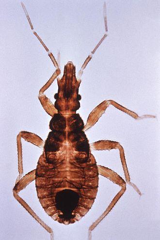 Triatoma infestans - Image: Triatoma infestans closeup