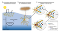 Trichodesmium interactions with bacteria to acquire iron.png