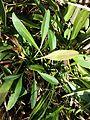 Tripolium pannonicum subsp. pannonicum sl11.jpg