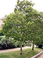 Tristaniopsis laurina-tree.jpg