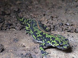 Marbled newt - Image: Triturus marmoratus 1