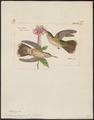 Trochilus melanogenys - 1820-1860 - Print - Iconographia Zoologica - Special Collections University of Amsterdam - UBA01 IZ19100363.tif
