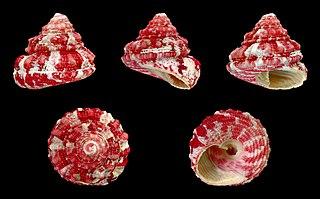 <i>Trochus ferreirai</i> species of mollusc