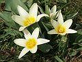 Tulipa kaufmanniana 270303.jpg