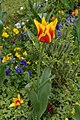 Tulipes en fleur au Jardin Massey de Tarbes 11.jpg