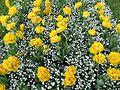 Tulpenbeet - panoramio - Baden de.jpg