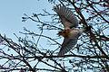 Turdus pilaris, winter, flying.jpg