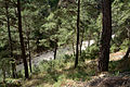 Turkish pine trees, Canyon Kapıkaya 05.JPG