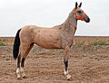Turkmen Studfarm - Flickr - Kerri-Jo (5).jpg