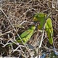 Turquoise-fronted Amazons (Amazona aestiva) couple (29113233210).jpg