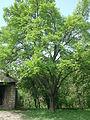 Tut ağacı.JPG