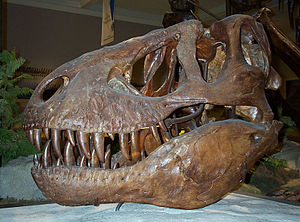 Specimens of Tyrannosaurus - Original skull of the type specimen (CM 9380), inaccurately restored with plaster after Allosaurus, before a complete T. rex skull was known