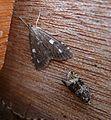Udea olivalis plus Celypha lacunana - Flickr - gailhampshire.jpg