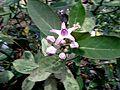 Umatham flower.jpeg