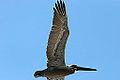 Underside of a pelican (3287352505).jpg